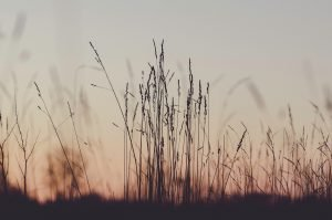 rushes_in_field